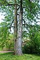 Aesculus flava - Morris Arboretum - DSC00478.JPG