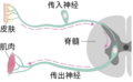 Afferent and efferent neurons zh.png