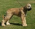 Afghan Hound golden 2.jpg
