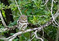 African Barred Owlet (Glaucidium capense) (13584013785).jpg