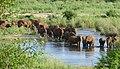 African Elephants (Loxodonta africana) crossing Sabie River ... (47465274071).jpg
