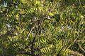 African Grey Hornbill - Shai Hills - Ghana 14 S4E1117 (16016334830).jpg