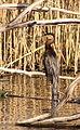 African darter (Anhinga rufa) (5923588352).jpg