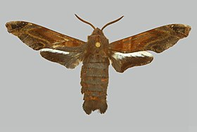 Afrosataspes galleyi, male, upperside. Central African Republic, Banqui.jpg