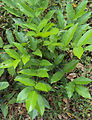 Aganope thyrsiflora 01.JPG