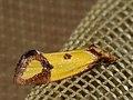 Agapeta zoegana - Sulphur knapweed moth - Листовёртка васильковая (40607229854).jpg