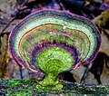 Agaricomycetes Doweld 613153.jpg