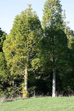 Agathis macrophylla 250px-AgathisMacroTrees