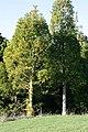 AgathisMacroTrees.jpg