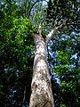 Agathis lanceolata Parc de la rivière bleue.jpg