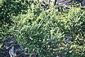 Agathosma apiculata knoffelboegoe herb - Riversdale South Africa 2.jpg