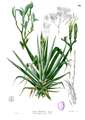 Agave sp Blanco1.96.png