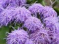 Ageratum houstonianum 'Blue Mink' (Compositae) flowers.JPG