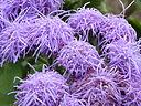 Ageratum houstonianum 'Blue Mink' (Compositae) flowers
