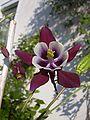 Akelei - violett-weiß.jpg