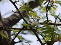 Albizia amara subsp. amara (5656880776).jpg