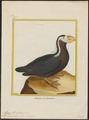 Alca cirrhata - 1700-1880 - Print - Iconographia Zoologica - Special Collections University of Amsterdam - UBA01 IZ17800143.tif