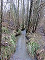 Alder carr at Steam Mill Lake - March 2013 - panoramio.jpg