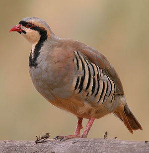 Chukar partridge - Image: Alectoris chukar 001