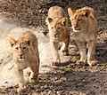 All Three Cubs (4502012535).jpg