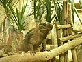 Alligator Bay de Beauvoir iguane rhinoceros 1.JPG
