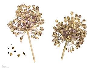 Allium ampeloprasum - Image: Allium ampeloprasum MHNT.BOT.2006.46.12