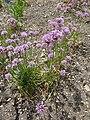 Allium angulosum (Alliaceae) plant.JPG