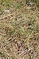 Allium cernuum 2852.JPG