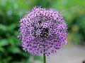 Allium giganteum Liebig.jpg