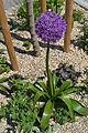 Allium giganteum in Nitra.jpg