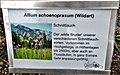 Allium schoenoprasum (Wildart).jpg