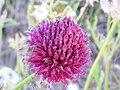 Allium sphaerocephalon Inflorescencia 2010-6-24 DehesaBoyaldePuertollano.jpg