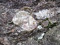 Alluvial polymict conglomerate (Mount Rogers Formation, Neoproterozoic, 750-760 Ma; Fox Creek roadcut, west of Troutdale, Virginia, USA) 110 (30200622520).jpg