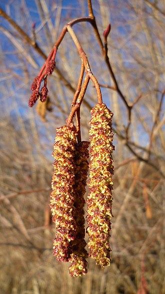 Alnus incana - Alnus incana var. tenuifolia male flowers in early spring along the Columbia River