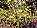 Aloe camperi (Villa Hanbury, Italy).JPG
