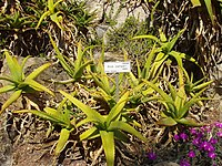Aloe camperi (Villa Hanbury, Italy)