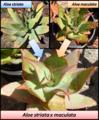Aloe striata x maculata hybrid ornamental plant.png