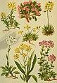 Alpen-Flora für Touristen und Pflanzenfreunde (1902) (18110380321).jpg