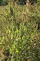 Amaranthus retroflexus PID1466-2.jpg