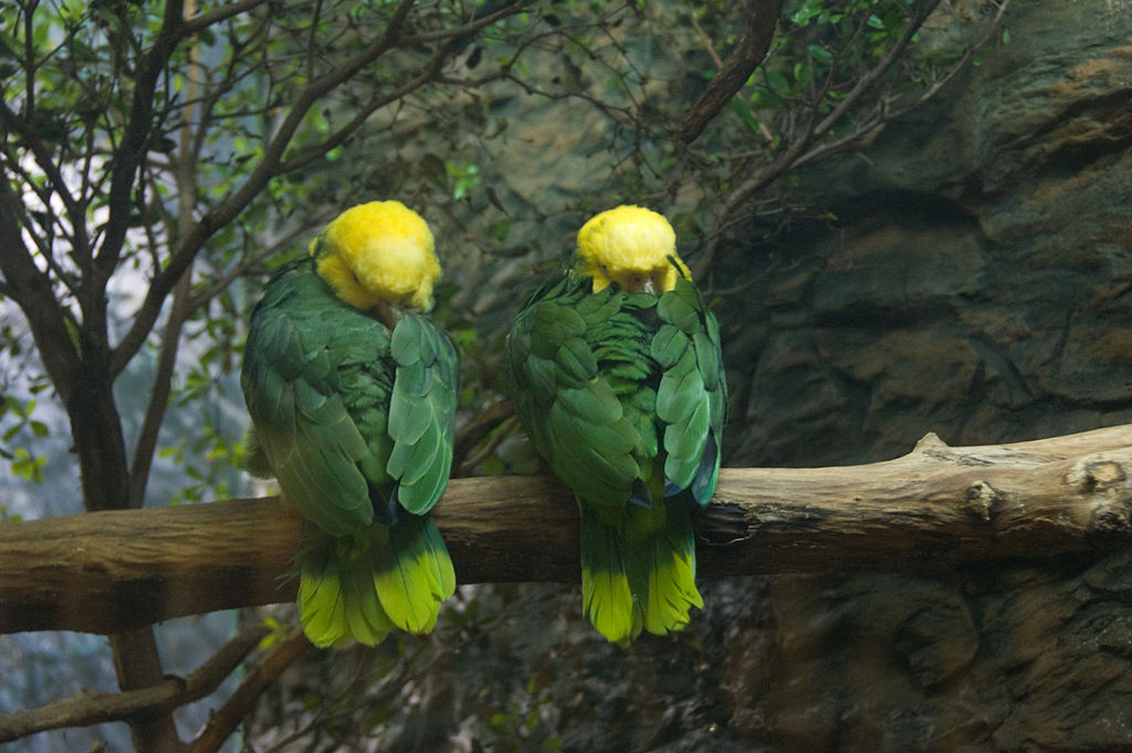 File Amazona Oratrix Dallas World Aquarium Two Resting