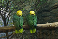 Amazona oratrix -Dallas World Aquarium -two resting-8a.jpg
