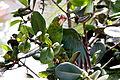 Amazona vittata -Iguaca Aviary, Puerto Rica-8a (3).jpg