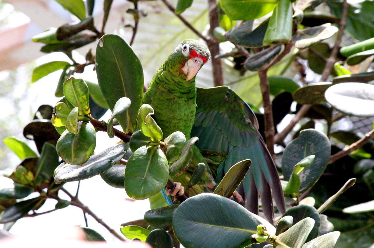 puerto rican parrot A locally funded puerto rican parrot (amazona vittata) genome sequencing  project increases avian data and advances young researcher education taras k .