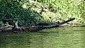 American Mink (Neovison vison) - Thunder Bay, Ontario 02.jpg