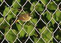 American Redstart (15076648037).jpg