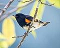 American Redstart (m) (38923412662).jpg
