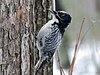 American Three-toed Woodpecker - Picoides dorsalis (Male)