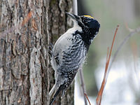 American Three-toed Woodpecker - Picoides dorsalis (Male)