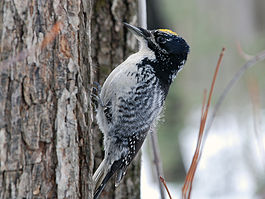 American Three-toed Woodpecker - Picoides dorsalis (Male).jpg