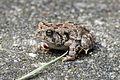 American Toad (Bufo americanus) - Flickr - GregTheBusker.jpg